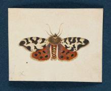 maria.sibylla.merian.moth
