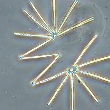 phytoplankton.diatom.chain.university.of.rhode.island.Stephanie.Anderson