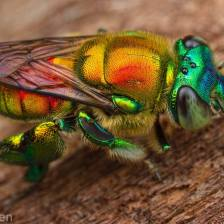 orchid.bee.gil.wizen
