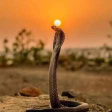 uraeus.sacred.egyptian.cobra