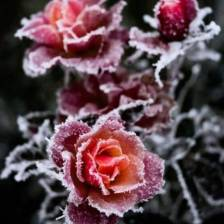 snowy.rose