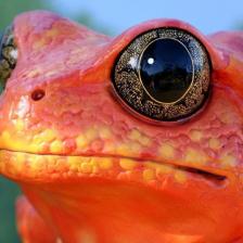 tomato.frog